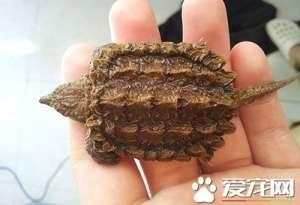 鳄龟的生活习性 生活的温度一般是多少